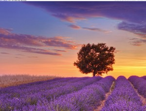 provenza lavender-field-and-lone-tree-provence-france
